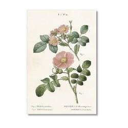 Vintage Karte Rose Rubrifolia