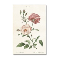 Vintage Karte Rose Semperflorens