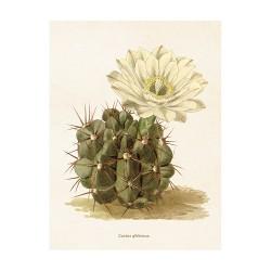 "Vintage Mini Poster ""Kaktus Gibbosus"""