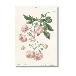 Vintage Karte Rose Multiflora
