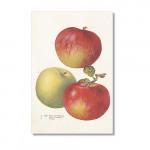 Vintage Karte mit drei Äpfeln