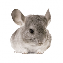 Wand Sticker Chinchilla