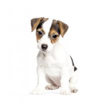 Wand Sticker Hundewelpe Jack Russel