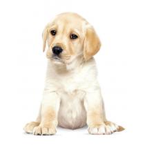 Wand Sticker Hundewelpe Labrador