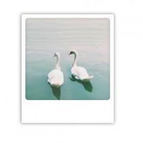 "Pickmotion Karte ""Swans"""