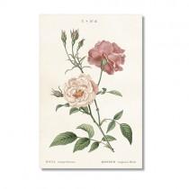 Vintage Karte Rose Semperflorens