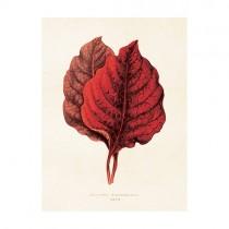 """Vintage Mini Poster """"Amarantus"""""""