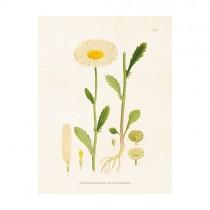 "Vintage Mini Poster ""Chrysantheme"""
