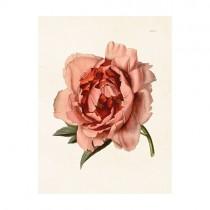 "Vintage Mini Poster ""Pfingstrose Rosa"""