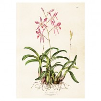 Vintage Poster Orchidee