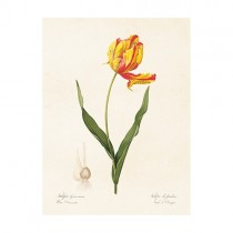"Vintage Mini Poster ""Tulipa Orange-Rot"""